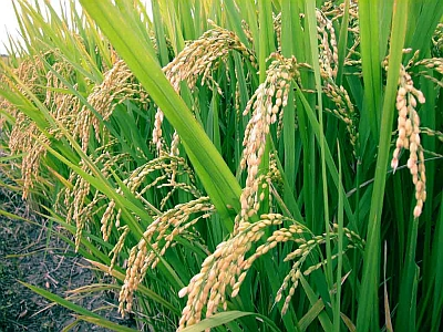BIOTEC collaborates with other Thai universities to develop a new variety of glutinuous rice with resistance to both blast and blight