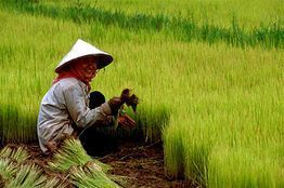 BIOTEC, Thailand, researchers Dr Theerayut Toojinda and Dr Jonaliza Lanceras-Siangliw provide insights on rice